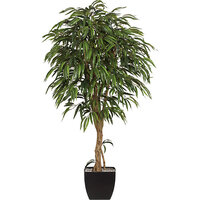 Weeping Ficus mit Naturstamm