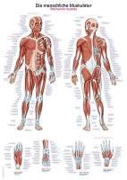 """Lehrtafel """"Die menschliche Muskulatur"""", 70x100cm"""